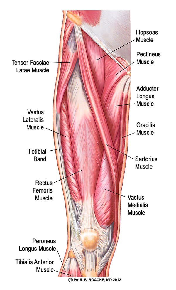 anterior-thigh-muscles