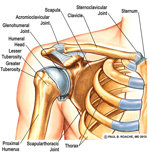 Front of the Shoulder Joint